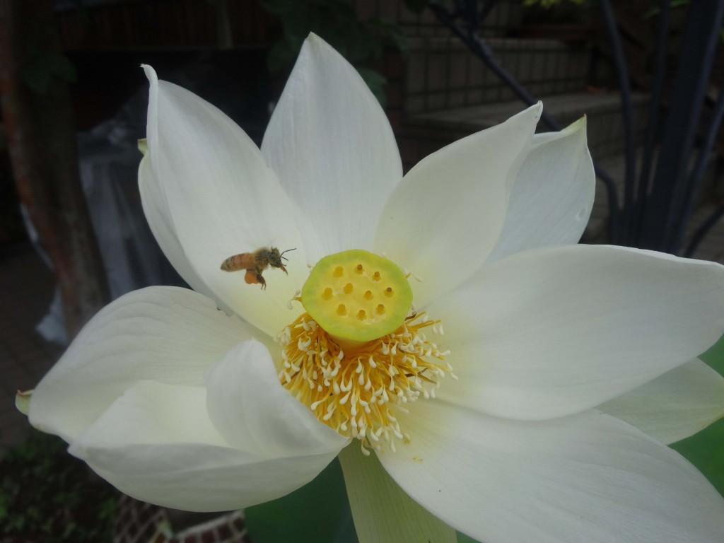 20146月30日美剣士とミツバチ